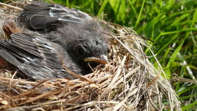 Nestling. A little bird in the nest Royalty Free Stock Images