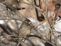 Nestling. The little nestling sparrow on tree Royalty Free Stock Photography