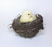 Nestling little yellow chick in bird nest of grass and twigs Stock Image
