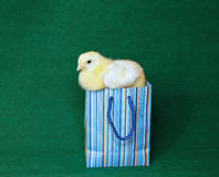 Nestling little yellow chick in blue gift pack Stock Images
