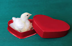 Nestling little yellow chick in a red gift box in heart shape Stock Images