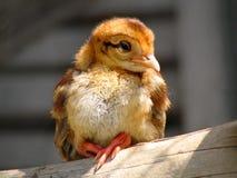 Nestling Macartney Stock Image