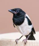 Nestling of magpie bird Stock Photos