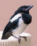 Nestling of magpie bird Stock Photo