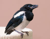 Nestling of magpie bird Stock Photography