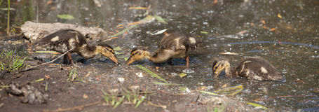 Nestling Mallard ducks. (Anas platyrhynchos) looking for food on the edge of the pond Royalty Free Stock Photo