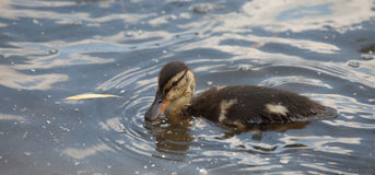 Nestling Mallard ducks. (Anas platyrhynchos) looking for food on the pond Stock Images