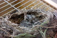 Nestling in the nest. Little bird in the nest at the zoo animal rescue place Stock Photos