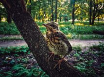 Nestling. So young royalty free stock images