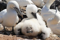 Nestling of a northern gannet / Morus bassanus Royalty Free Stock Image