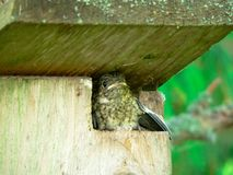 The nestling of a Pied Flycatcher Royalty Free Stock Photo