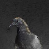 Nestling pigeon portrait Stock Images