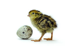 Nestling quail and egg. The shot of a quail with an egg was taken using a white background Stock Photos