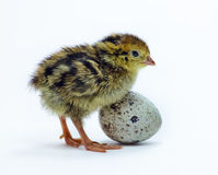 Nestling quail and egg Stock Images