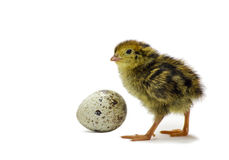 Nestling quail with egg. Just hatched chick of quail with egg  on white background Stock Photography