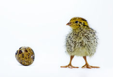 Nestling quail with eggshell Royalty Free Stock Image