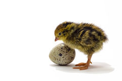 Nestling quail is waiting for its siblings. Domesticated quails are important agriculture poultry Stock Image