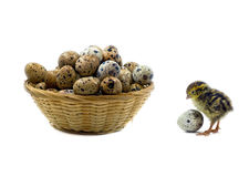 Nestling quail is waiting for siblings. Quail eggs are healthy diet food Stock Photos
