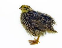 Nestling quail on white background Stock Image