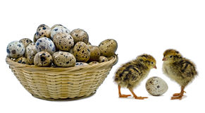 Nestling quails are waiting for siblings Stock Photos