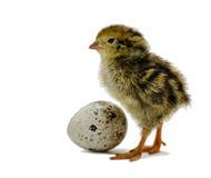 Nestling quails on white. Nestling quail is waiting for sibling Stock Images