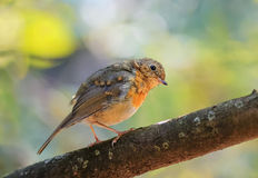 Nestling Robins on a branch in the Park. Funny nestling Robins on a branch in the Park royalty free stock photos