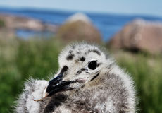 Nestling of Seagull Royalty Free Stock Photo