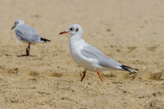 Nestling seagull Stock Photography
