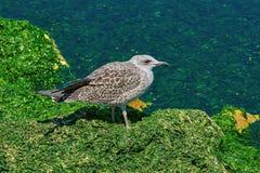 Nestling of Seagull. On Silt Bank of Black Sea stock image