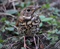 Nestling song thrush. In the spring garden on earth is singing thrush chick Stock Photography