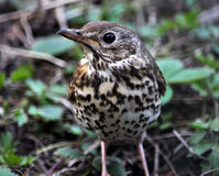 Nestling song thrush_2 Stock Image