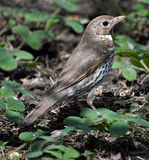 Nestling song thrush_3 Royalty Free Stock Images
