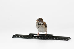 Nestling sparrow with a  ruler bowed his head, isolated on white Royalty Free Stock Image