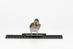 Nestling sparrow with a  ruler looking frightened, isolated on w Royalty Free Stock Photo