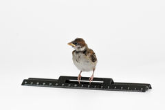 Nestling sparrow with a  ruler is looking to the left, isolated Royalty Free Stock Photos