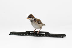 Nestling sparrow with a  ruler looks down, isolated on white bac Royalty Free Stock Images