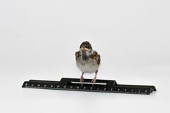 Nestling sparrow with a  ruler sits proudly, isolated on white b Stock Image