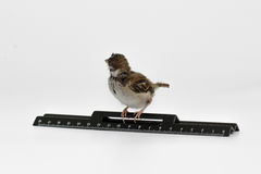 Nestling sparrow with a  ruler turned away, isolated on white ba Stock Photo