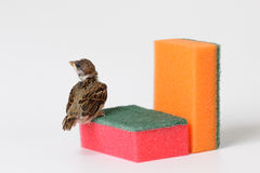 Nestling sparrow with a sponge for washing dishes, isolated on w Stock Photography