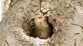 Nestling of starling  peeks out from the hollow of tree Stock Image