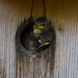 Nestling Starlings Royalty Free Stock Image