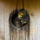 Nestling Starlings Royalty Free Stock Photography
