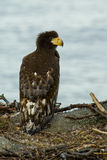 Nestling Steller's Sea Eagle in the nest. The picture was taken during the expedition on Steller's eagles Royalty Free Stock Photos