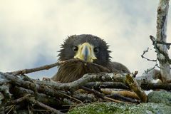 Nestling Steller's Sea Eagle in the nest Stock Photos
