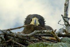 Nestling Stellers Seadler im Nest Stockfotos