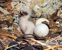 Nestling Steppe Eagle Aquila nipalensis. Steppe Eagle young chick in the nest. The rare bird Aquila nipalensis of prey protected species Royalty Free Stock Image