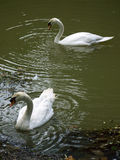 Nestling Swans Stock Images