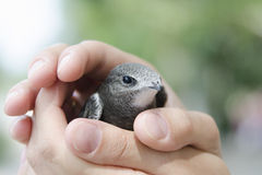 Nestling swift sits on the palm Stock Photos