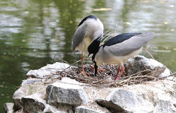 Nestling black-crowned night herons Stock Photo