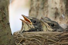 nestlings Стоковая Фотография RF